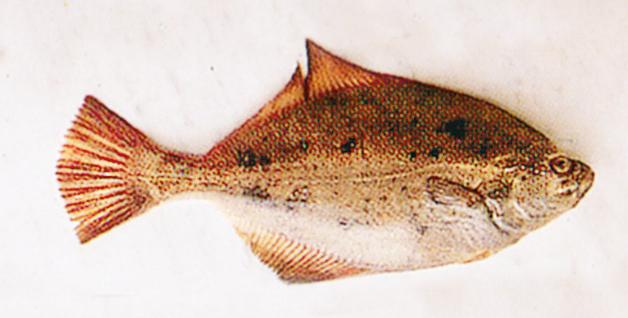 riconoscere il pesce d'acqua salata