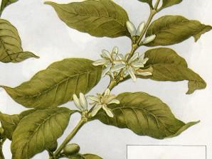 la pianta del caffé
