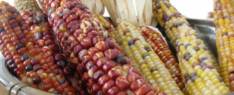 American indian corn