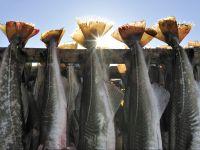 Svezia, pesce essiccato per produrre lutefisk (Foto © Mikael Svensson / LatitudeStock /Corbis)