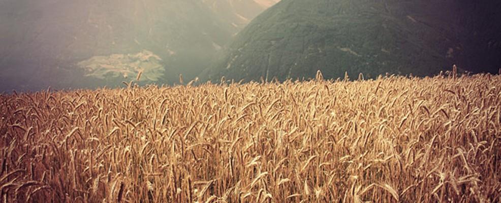 coltivazione di cereali in Val Venosta