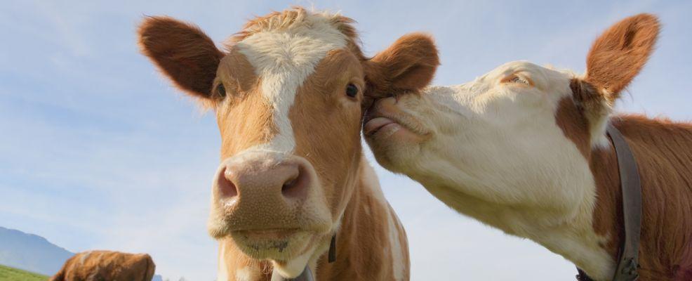 Mucche felici