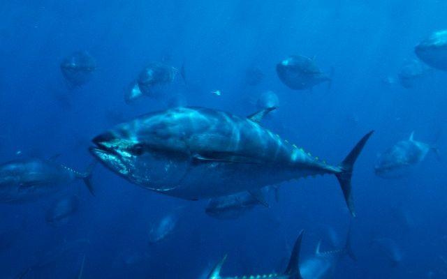 Pacific Bluefin Tuna (Thunnus thynnus) schooling, Mexico.