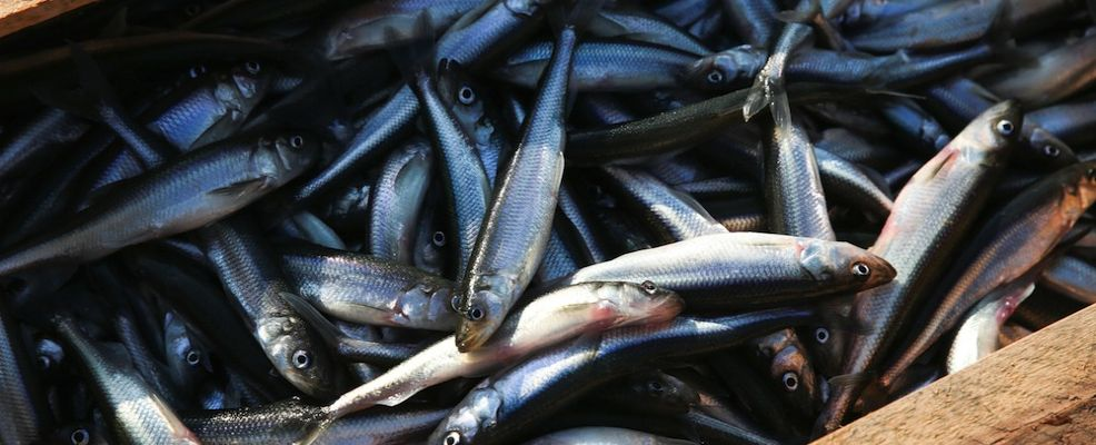 Fishing of the Baltic smelt in Saint Petersburg