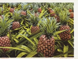 Florida Pines Postcard