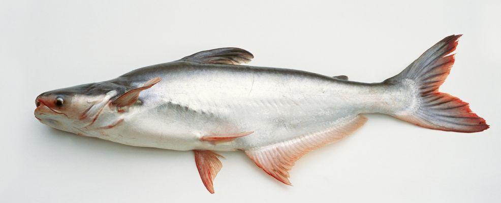 In mensa si mangia pesce ma pangasio non merluzzo for Pesci da laghetto mangia zanzare