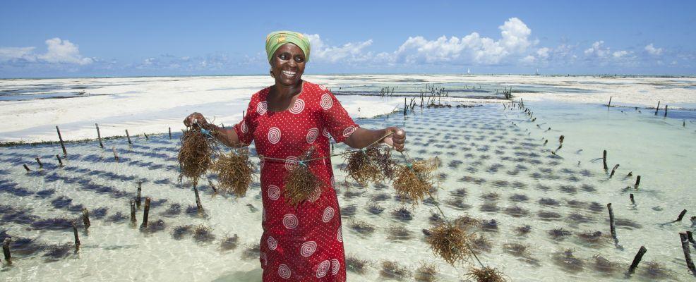 Seaweed Farming in Zanzibar. Tanzania. Africa