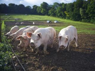 Pigs rooting in dirt field