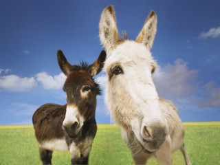 Donkeys in Field