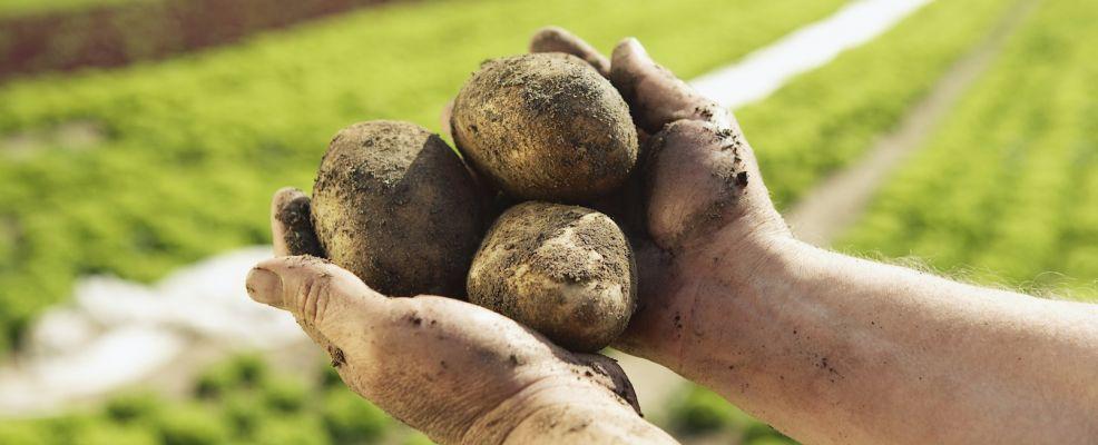 Patata coltivata nei campi