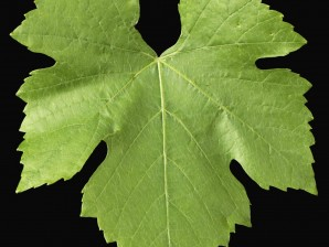 Wine Grape Leaf.
