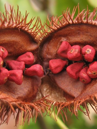 Bixa_orellana_fruit_open