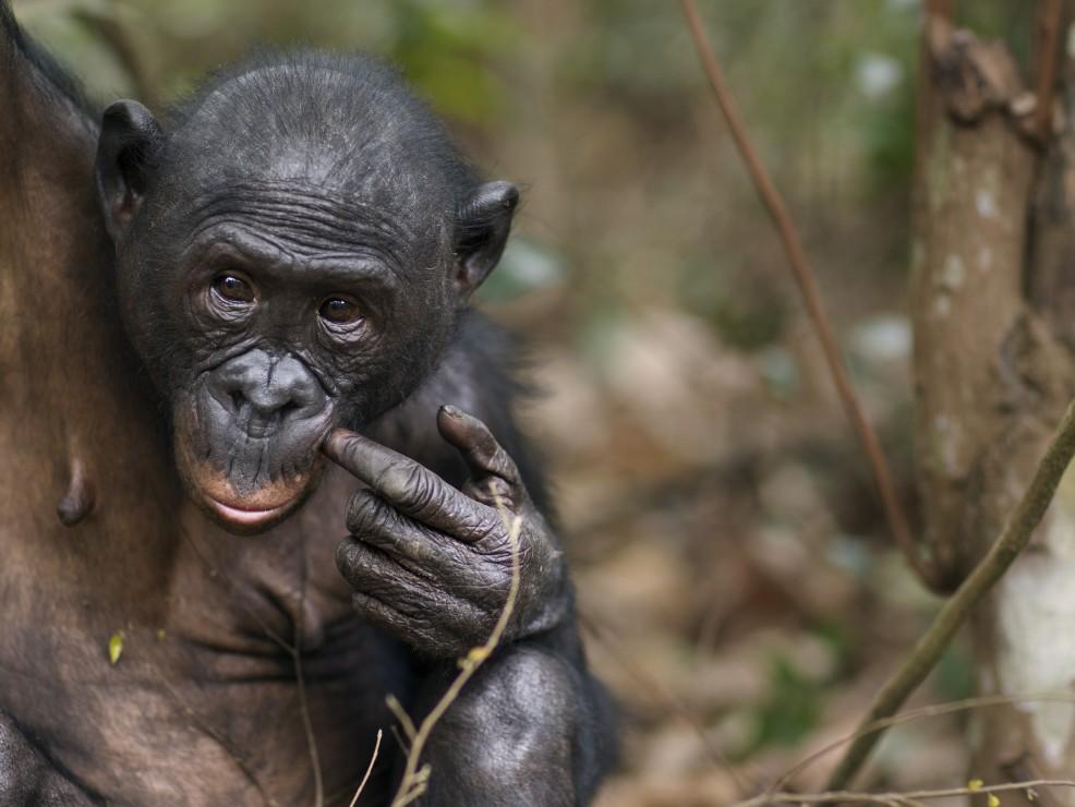 Bonobo nella Repubblica Democratica del Congo