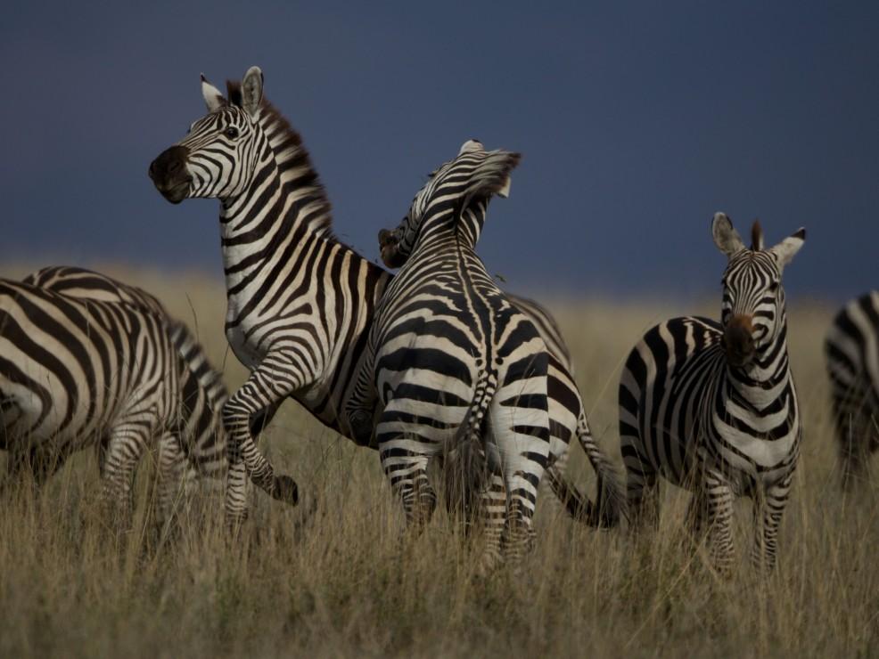 Zebre nel parco nazionale della Tanzania
