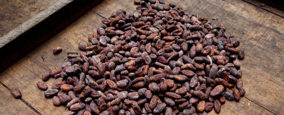Costa Rica, La Virgen de Sarapiqui, Drying Cocoa Beans, Tirimbina Biological Reserve