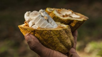 Cocoa beans in a cocoa pod along the Toa river north of Baracoa