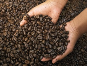 Coffee (Coffea arabica) roasted beans in Coffee Producers Association, Intag Valley, northwest Ecuador