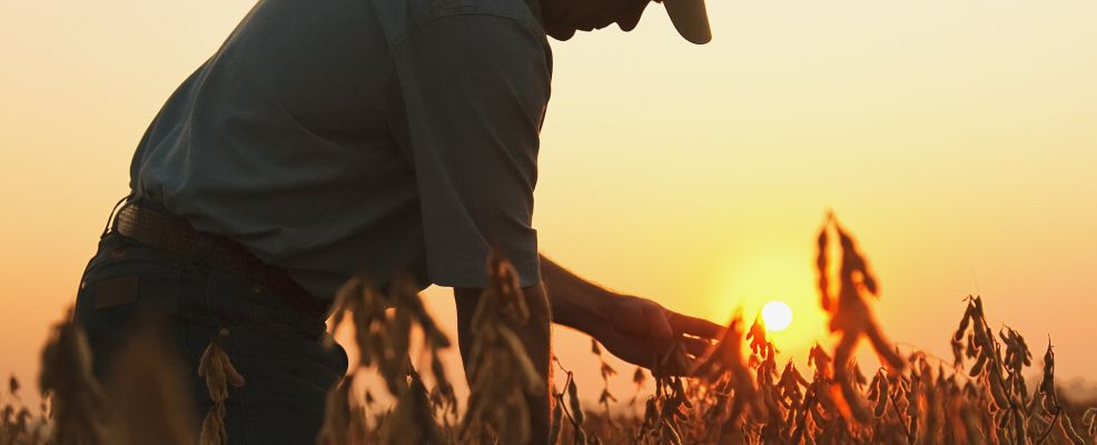 Agriculture - A farmer (grower) inspects his mature harvest ready crop of soybeans at dawn / Arkansas, USA.