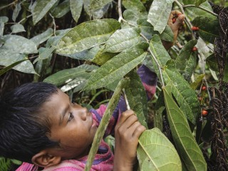 Manobo child picking wild berries to eat