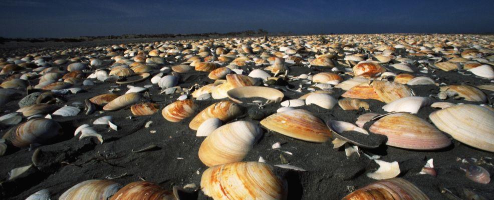 Clam Shells on the Beach