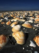 Clam Shells on the Beach