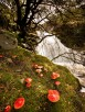 Fairy Ring of red Amanita muscaria toadstools, Aber, Snowdonia