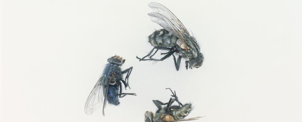 Three flys