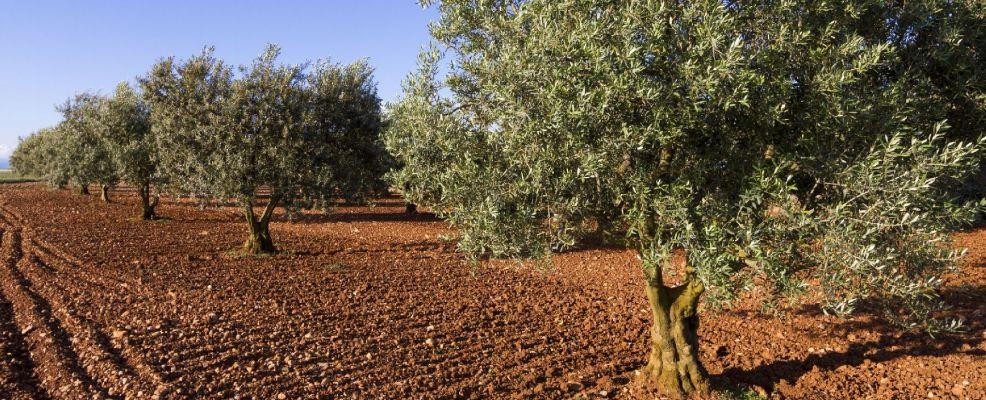 France, Alpes de Haute Provence, Parc Naturel Regional du Verdon (Natural Regional Park of Verdon), Valensole Plateau, Puimoisson, olive trees