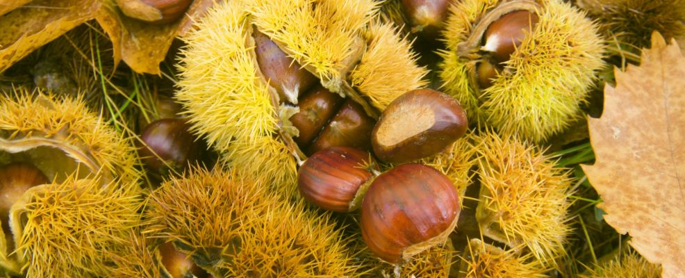 Opened Chestnuts With Spiky Capsules