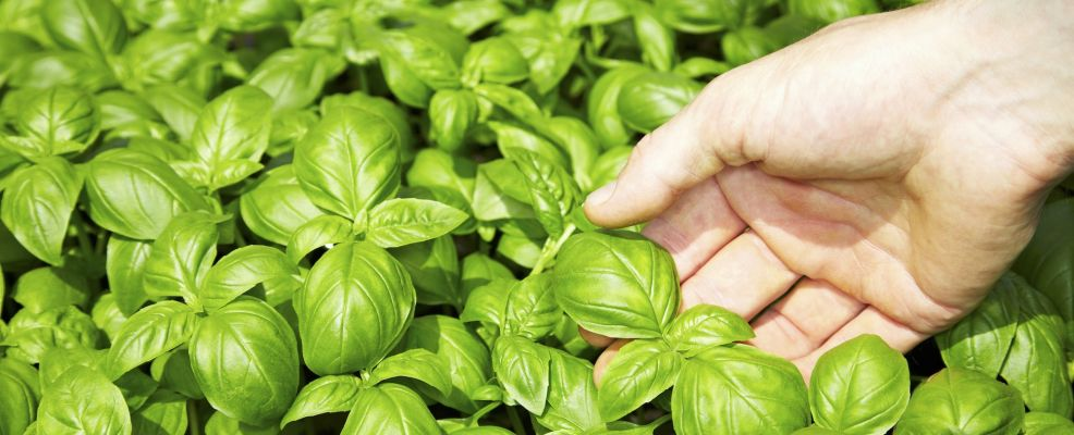Hand touching basil leaves