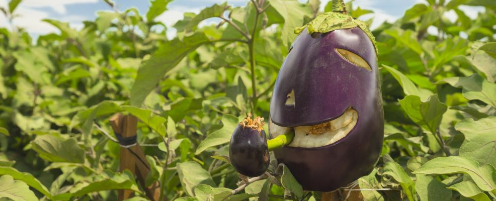 Scarecrow made of an eggplant at the edge of a field where eggplants are growing