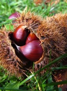 Castagne, regine del bosco: 5 buoni motivi per mangiarle