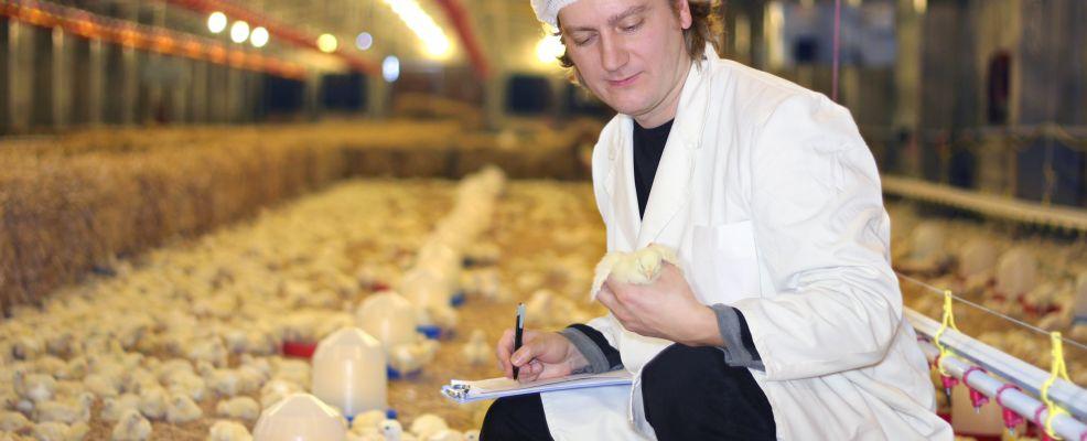 il pollo non cresce ad antibiotici_4B