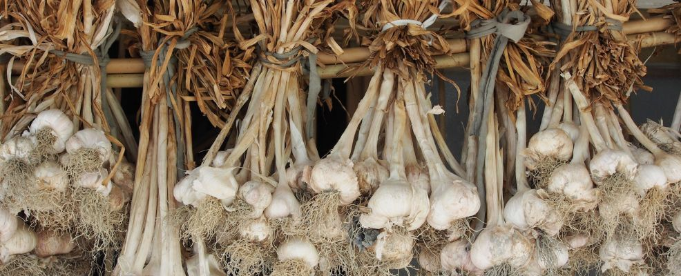 39558677 - garlic bulbs hanging and drying outdoor