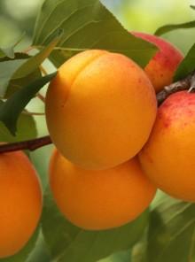 Vita d'albicocca, l'arancia dell'estate