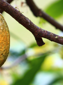 Cacao espresso: superfood in tazzina