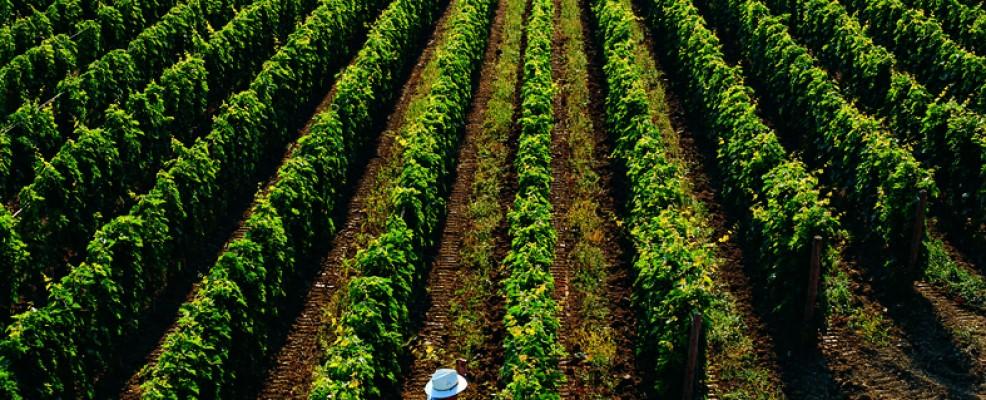 Gianni in vineyard