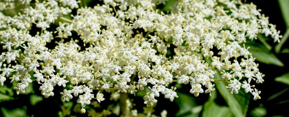 sambuco-fiori