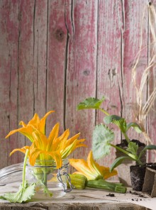 Fiori di zucca, come acquistarli, preparali e cucinarli